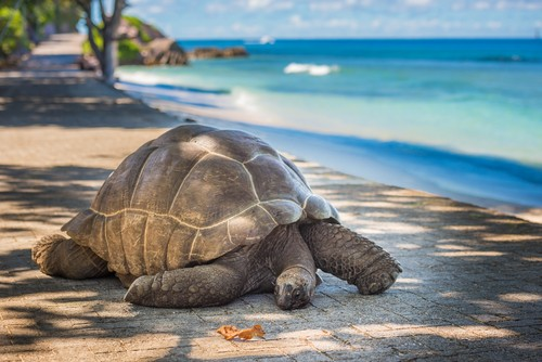 Moyenne. Seychellene
