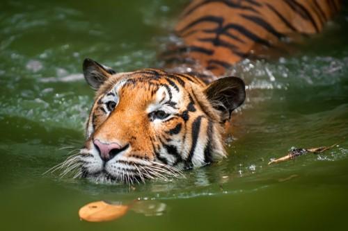 Tiger, Borneo