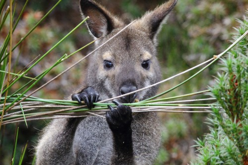 Red-necked wallaby at Cradle Mountain-Lake St. Clair National Park in Tasmania, Australia