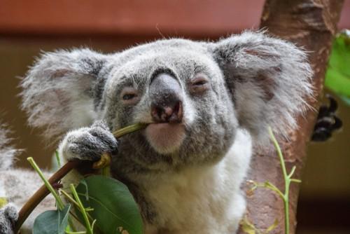 Koala, Tasmania, Australia