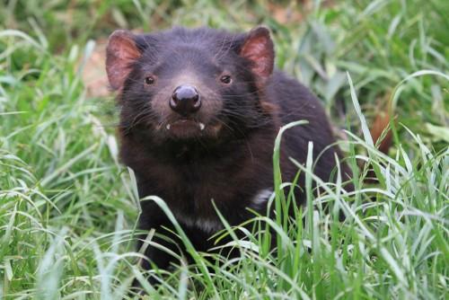 Tasmanian devil, Tasmania, Australia