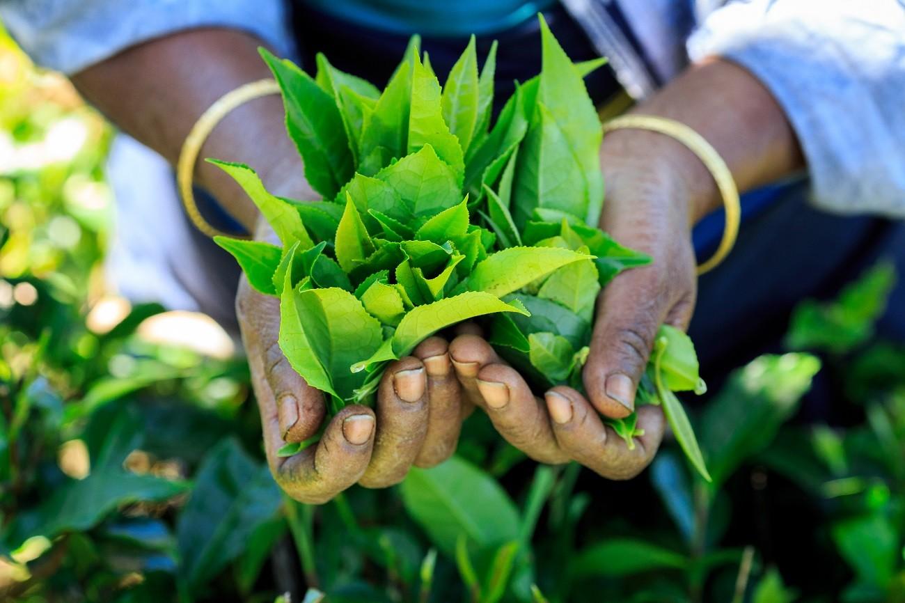 Tea leaves, Sri Lanka
