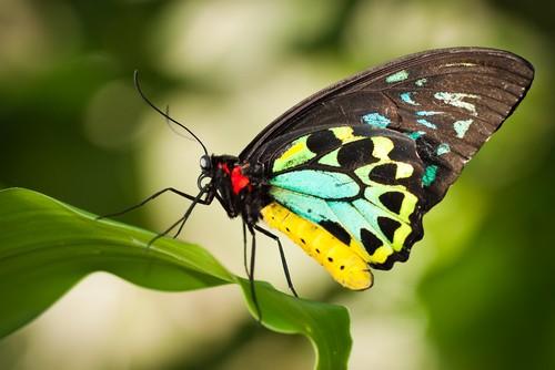 Butterfly, Cairns, Australia