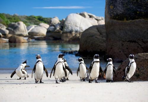 Boulders beach pingvinger