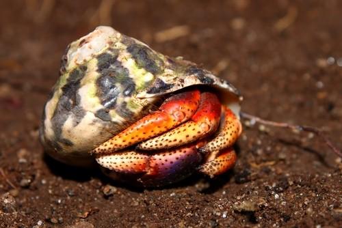Hermit Crab on Saint Kitts