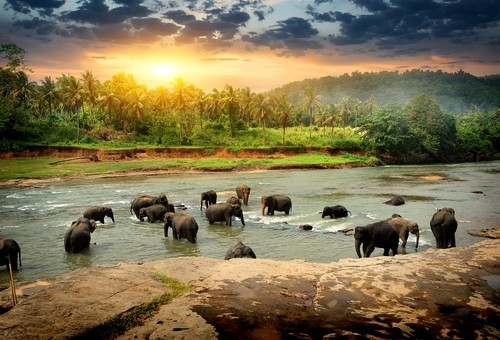 Herd of elephants, Sri Lanka