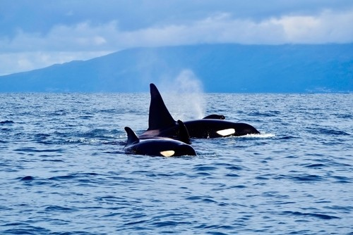 Killer whales, coast of the Azores, Portugal