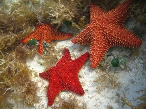 Starfish, Den dominikanske republikk