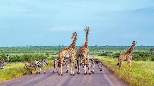 Giraff sebra Sør amerika