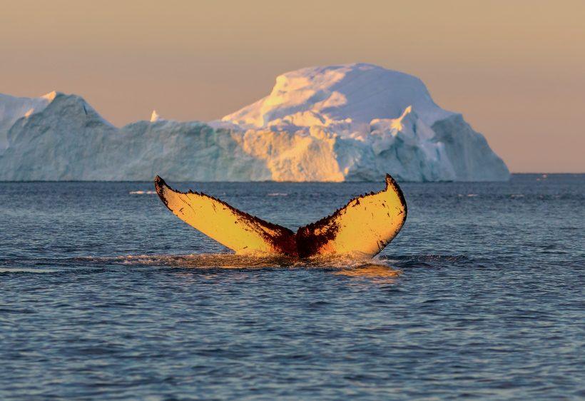 hval på Grønland