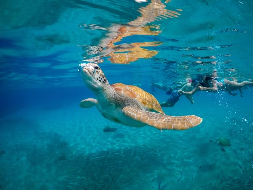 Curacao skilpadde