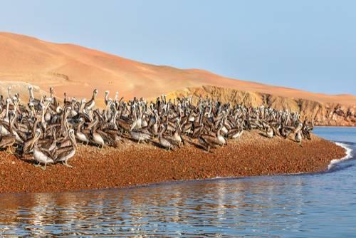 Pelikaner, Paracas, Peru