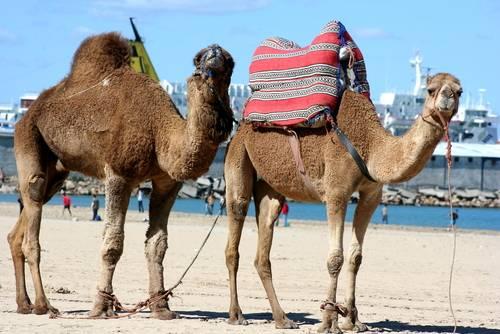 Kameler, Tanger, Marokko
